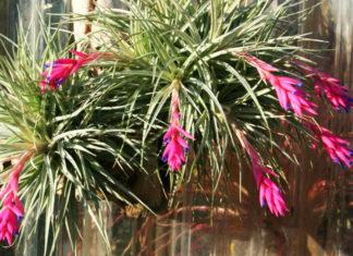 tillandsia pianta da appartamento che purifica l'aria