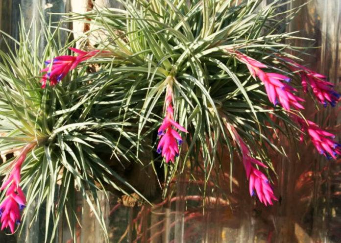 Piante Da Appartamento Bromeliaceae.9 Piante Da Appartamento Che Purificano L Aria Benessere