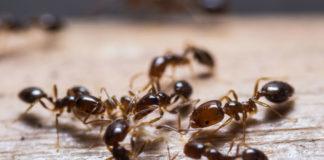 Rimedi naturali per scacciare le formiche di casa