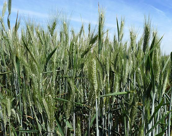 Spighe di grano tritordeum