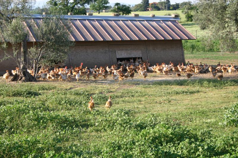 Un allevamento di galline