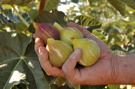 Fichi, frutto di settembre dalle notevoli propietà