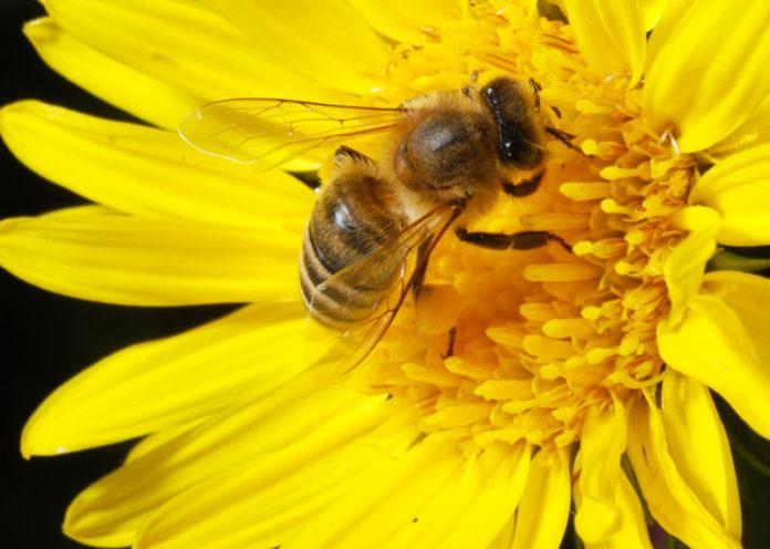 Pesticidi danneggiano api e miele
