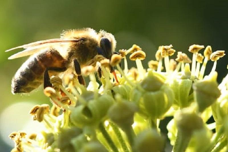 Api in pericolo per utilizzo dei pesticidi