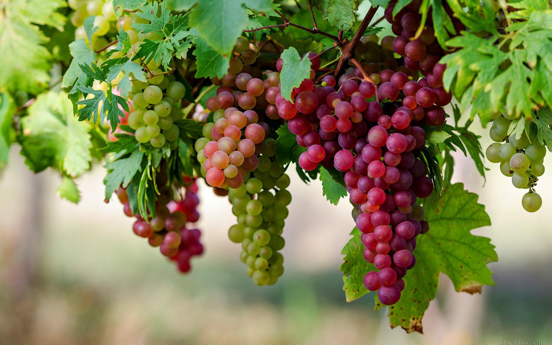 Uva: consumo alimentare, fitoterapico e cosmetico