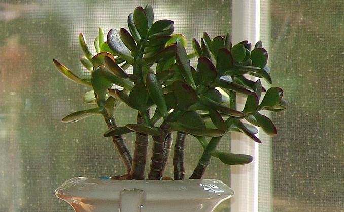 albero di giada in casa o in ufficio