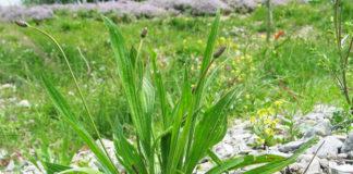 Piantaggine, un'erba comune dalle molte proprietà benefiche