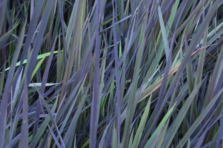 la pianta del riso violet