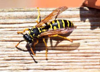 Api e vespe: rimedi naturali per tenerle lontane senza ucciderle