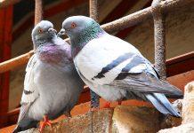 piccioni sui tetti