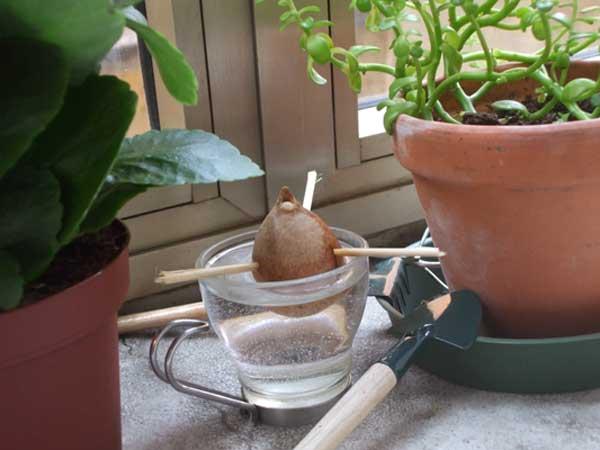 nocciolo di avocado piantato per farlo germogliare