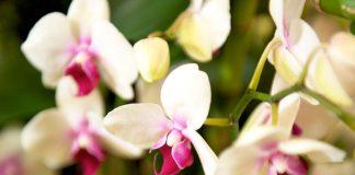Come curare le orchidee in casa per fioriture spettacolari