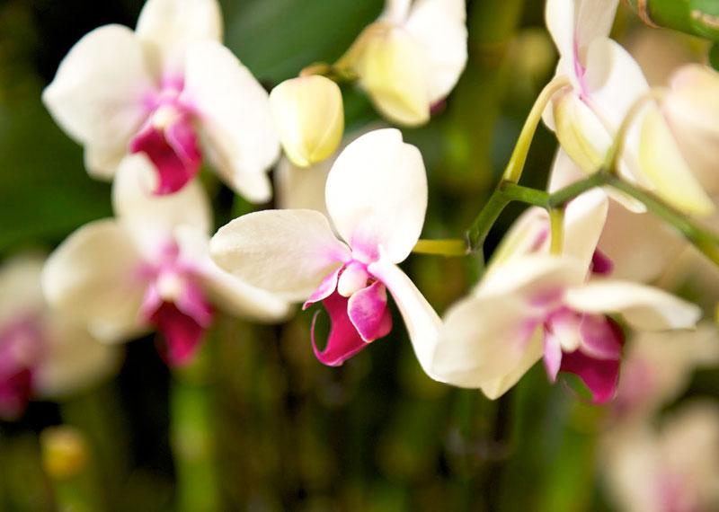 Come curare le orchidee in casa per fioriture spettacolari for Orchidee in casa