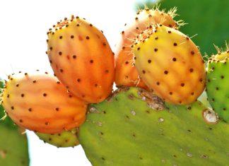 Olio di cactus, un potente antiage naturale