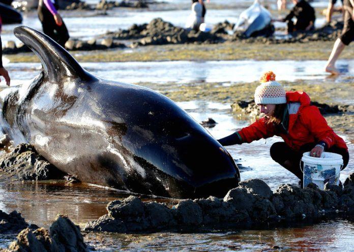 140 delfini si spiaggiano e muoiono tutti insieme in Nuova Zelanda