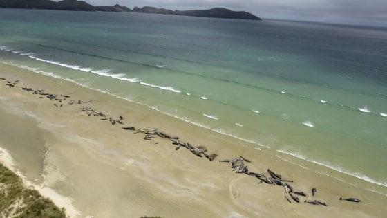 i delfini spiaggiati in nuova zelanda