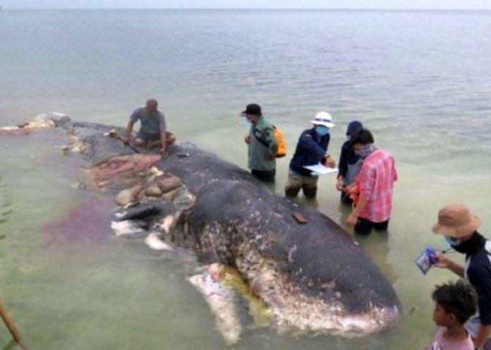 Muore capodoglio di 10 metri: aveva 5 chili di plastica nello stomaco