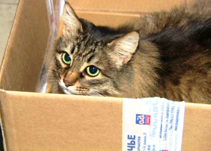 4 motivi per cui il vostro gatto impazzisce quando vede una scatola di cartone