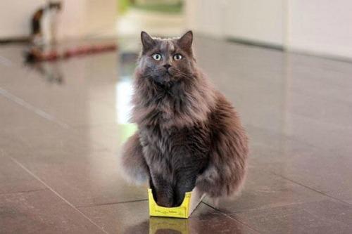 gatto occupa una scatola piccolissima