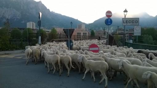 gregge di pecore attraversa il centro cittadino di Lecco
