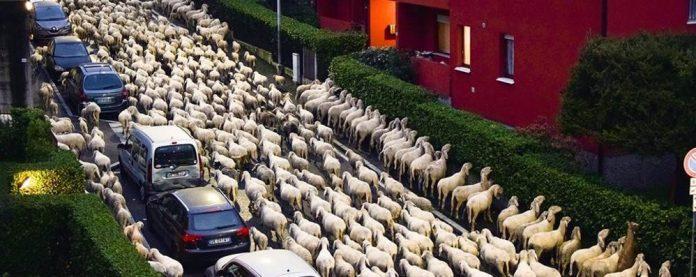 Pecore attraversano Lecco e fanno scorpacciata di siepi in centro