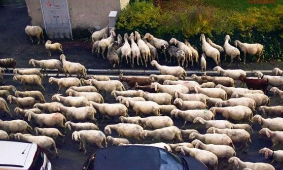 pecore brucano siepe in città