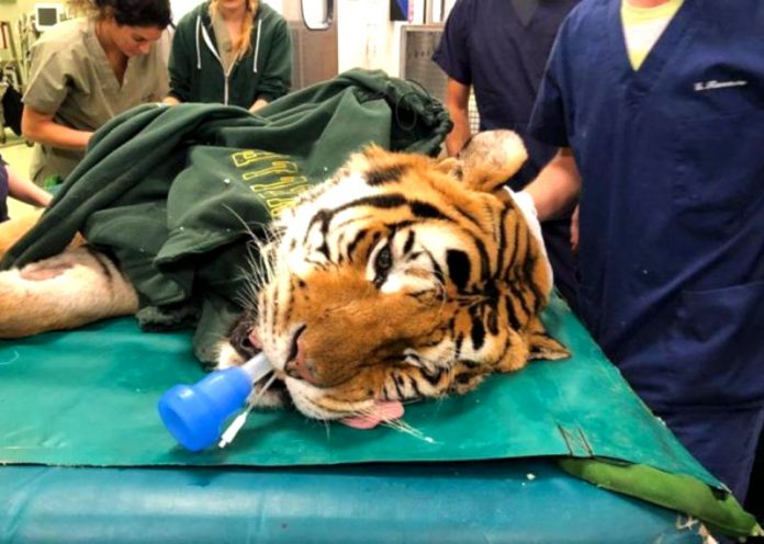Tigre operata a Lodi per un tumore