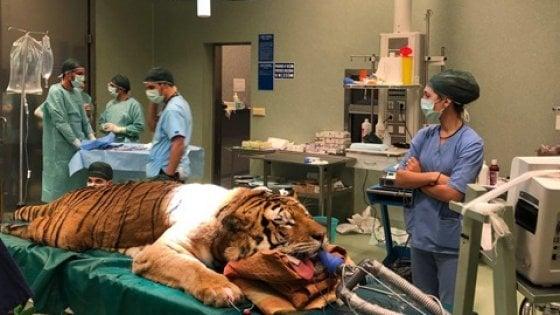 la sala operatoria con la tigre obelix