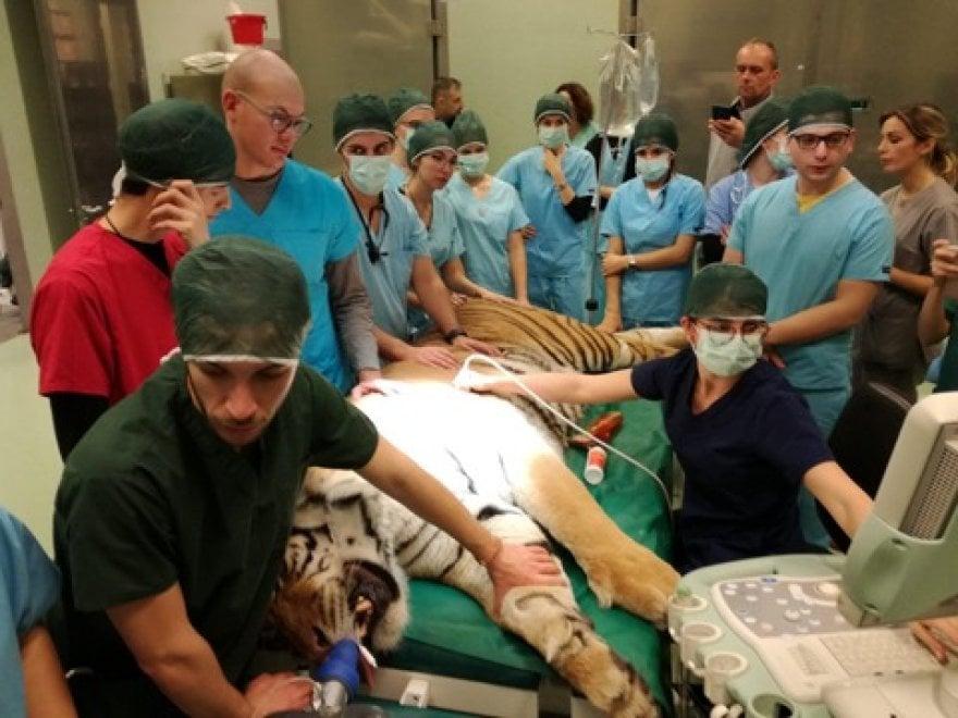 la tigre sottoposta in anestesia in sala opertaoria