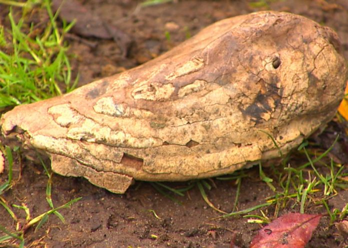 Cane scava una buca in giardino e trova un dente fossile di mammut