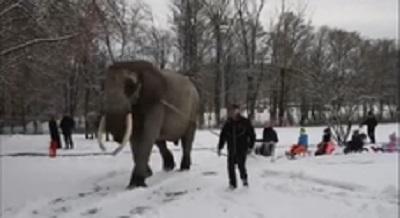 Salviamo Mambo, l'elefante del circo costretto a trascinare una slitta sulla neve