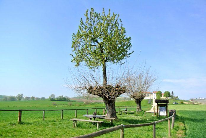 Il meraviglioso bialbero di Casorzo (ciliegio sopra gelso)