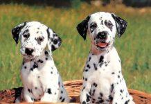 Wiley, il cucciolo di Dalmata con il naso a forma di cuore