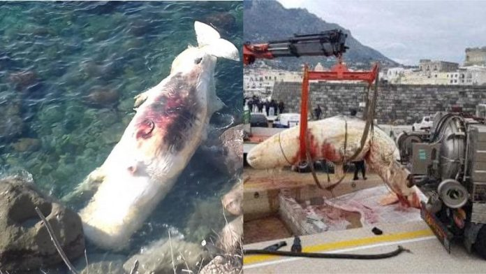 Capodoglio spiaggiato ad Ischia: plastica ancora sotto accusa