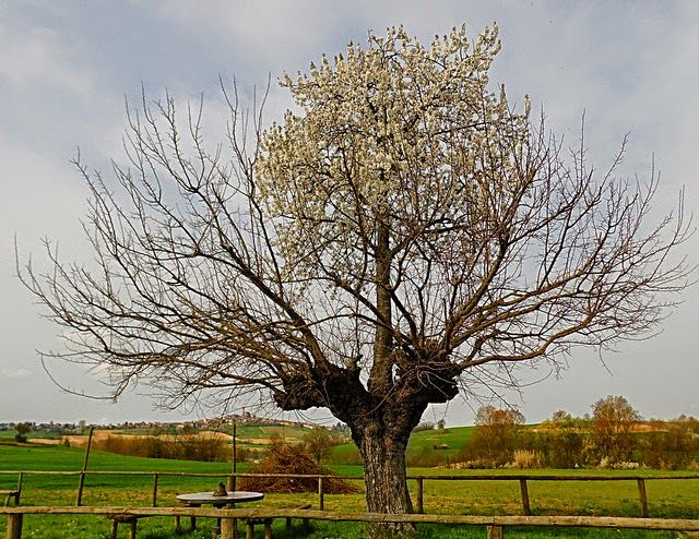 il doppio albero di Casorzo