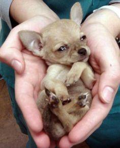 Chihuahua sopravvive all'attacco di un falco, e alla caduta in volo