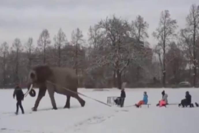 elefante costretto a trainare slitte sulla neve