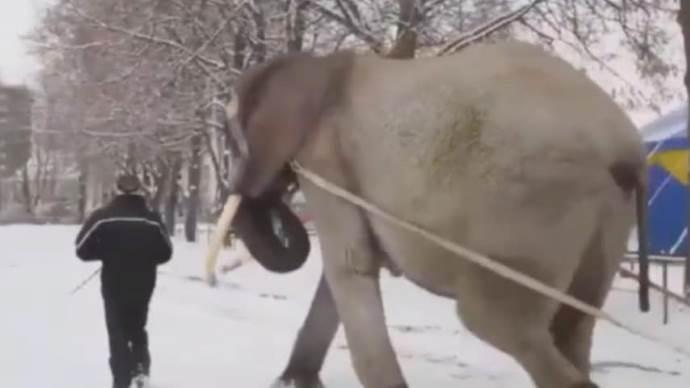 elefante costretto a lavorare nella neve