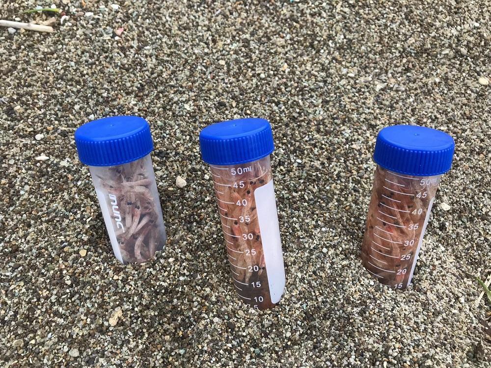 campioni di gamberetti rosa morti prelevati dalla spiaggia di Ischia