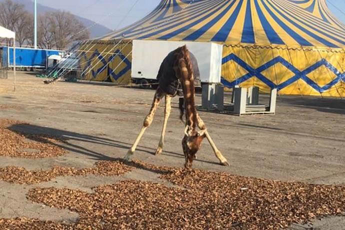 Giraffa al freddo