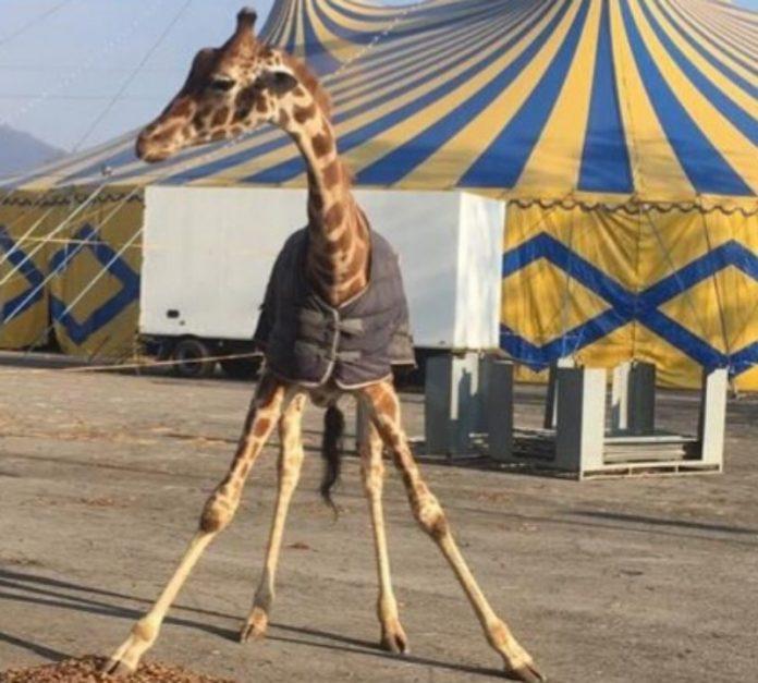 Circo Orfei a Brescia: animali al gelo e scatta la denuncia