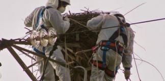 Bracconieri trovano una cicogna bianca in Calabria: il nido preso a fucilate