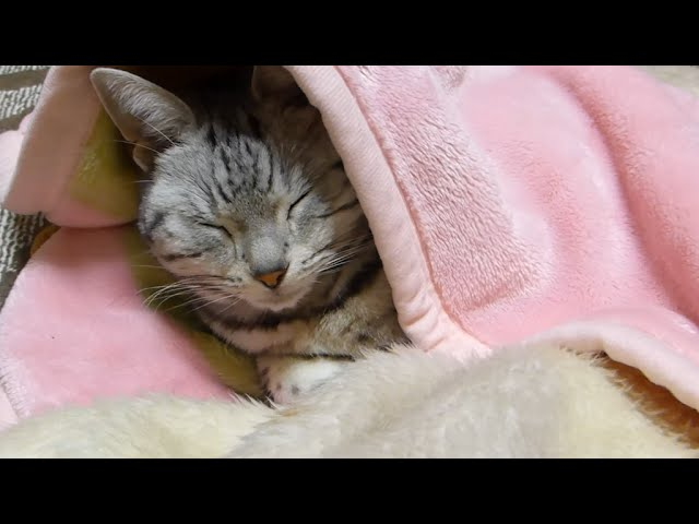gatto dorme al caldo sotto le coperte