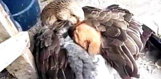 Amicizia tra animali: cagnolino ha freddo e oca lo scalda