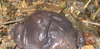 rana maialino scoperta in India