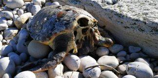 Puglia, 5 tartarughe con la testa mozzata: si pensa ad un rituale tra pescatori