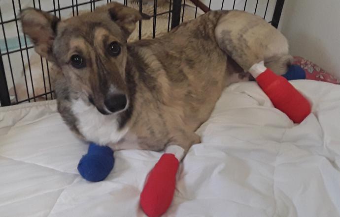 il cane Piedino appena operato