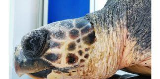 tartaruga ha mangiato plastica